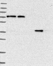 NBP1-87193 - C11orf54
