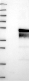 NBP1-84606 - C11orf57