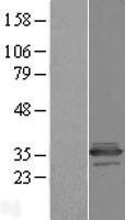 NBL1-08116 - C11orf68 Lysate