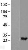 NBL1-08117 - C11orf70 Lysate