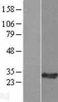 NBL1-08120 - C11orf74 Lysate