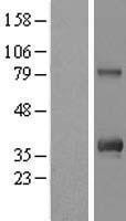NBL1-08142 - C12orf43 Lysate