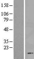 NBL1-08162 - C13orf30 Lysate