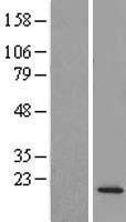 NBL1-08172 - C14orf126 Lysate