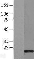 NBL1-08173 - C14orf129 Lysate