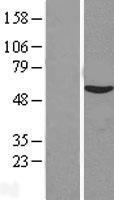 NBL1-08175 - C14orf133 Lysate