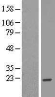 NBL1-08177 - C14orf143 Lysate