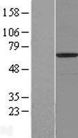 NBL1-08182 - C14orf159 Lysate