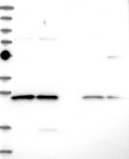 NBP1-84498 - C14orf166