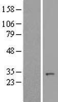 NBL1-08183 - C14orf166 Lysate