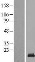 NBL1-08185 - C14orf177 Lysate