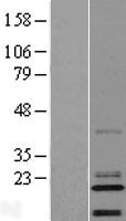 NBL1-08187 - C14orf180 Lysate