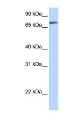 NBP1-70435 - C14orf37