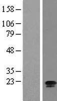 NBL1-08198 - C15orf15 Lysate