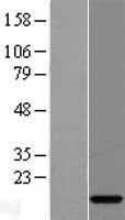 NBL1-08204 - C15orf40 Lysate