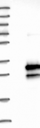 NBP1-81996 - C16orf45