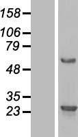 NBL1-08213 - C16orf45 Lysate