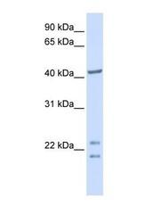 NBP1-56350 - C16orf48