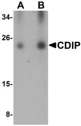 NBP1-76996 - LITAF-like protein