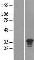 NBL1-08218 - C16orf57 Lysate