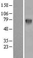 NBL1-12060 - C16orf9 Lysate