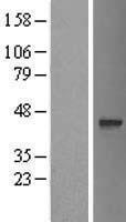 NBL1-10758 - C17orf101 Lysate