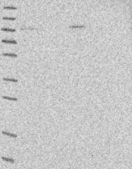 NBP1-84075 - C17orf28 / DMC1