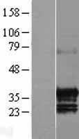 NBL1-08233 - C17orf39 Lysate