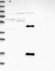 NBP1-93494 - C17orf53