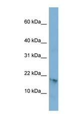 NBP1-70442 - C17orf64