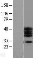 NBL1-08244 - C17orf78 Lysate