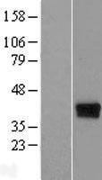 NBL1-08247 - C17orf81 Lysate