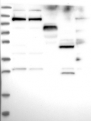 NBP1-86678 - C19orf29 / Cactin