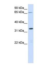 NBP1-70446 - C19orf47