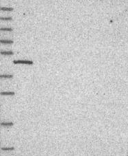 NBP1-91722 - C19orf47