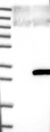 NBP1-82056 - C19orf50