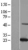 NBL1-08275 - C19orf50 Lysate