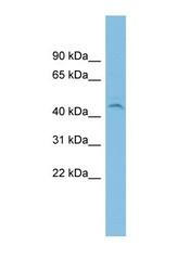 NBP1-70447 - C19orf55