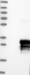 NBP1-81253 - MCEMP1