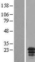 NBL1-08280 - C19orf59 Lysate