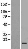 NBL1-08284 - C1D Lysate