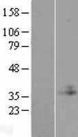 NBL1-08286 - C1GALT1C1 Lysate