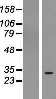 NBL1-08289 - C1orf104 Lysate