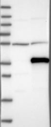 NBP1-86319 - C1orf111