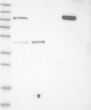 NBP1-83836 - C1orf112