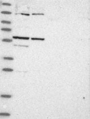NBP1-93901 - C1orf114