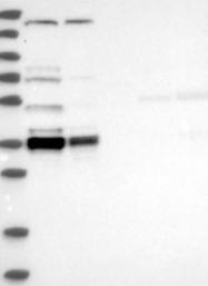 NBP1-85097 - C1orf131