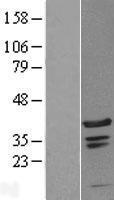 NBL1-08295 - C1orf131 Lysate