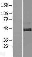 NBL1-08308 - C1orf187 Lysate