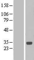 NBL1-08309 - C1orf190 Lysate